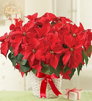 Poinsettia Plant in Camp Hill and Harrisburg PA, Pealers Flowers