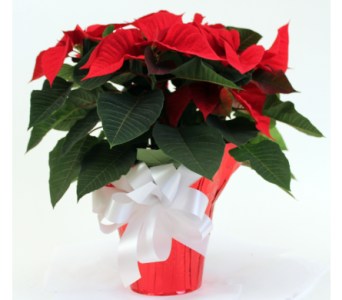 Poinsettias in 10