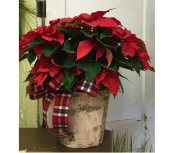 Large Red Poinsettia  in Northfield MN, Forget-Me-Not Florist