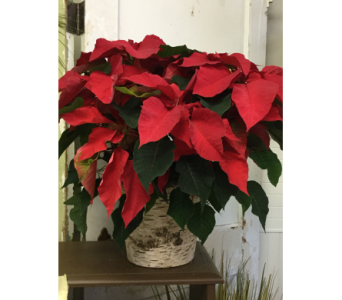 Medium Red Poinsettia  in Northfield MN, Forget-Me-Not Florist