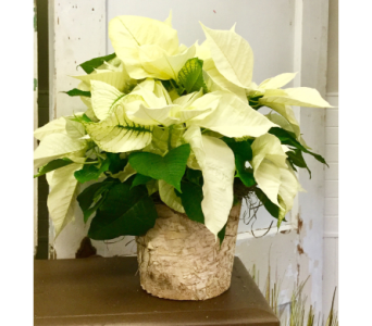 Small white poinsettia in Northfield MN, Forget-Me-Not Florist