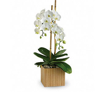 February's Plant, Phalaenopsis Orchid in Casper WY, Keefe's Flowers