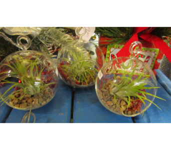 airplant  in Bismarck ND, Dutch Mill Florist, Inc.