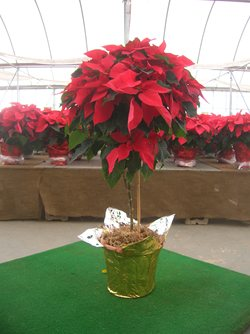 Topiary Poinsettia in Exeter PA, Robin Hill Florist