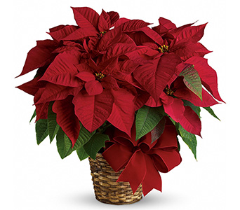 Red Poinsettia in Fort Worth TX, TCU Florist