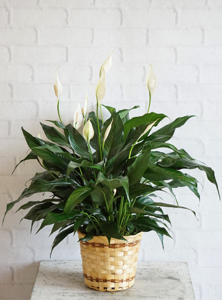 Small Elegant Spathiphyllum in Scranton PA, Remick Floral & Gift