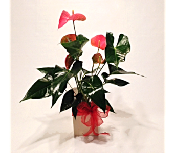 Tropical Antherium Plant in Herndon VA, Herndon Florist, Inc