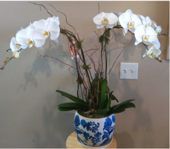 My Queen Orchid  in Tampa FL, Buds, Blooms & Beyond