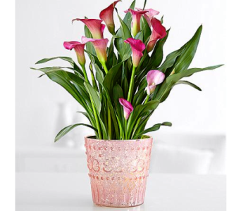 Potted Calla Lily in Nashville TN, Emma's Flowers & Gifts, Inc.