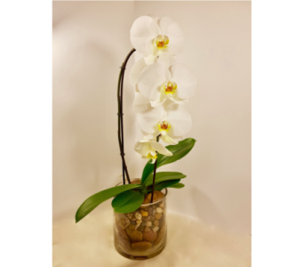 Delicate Orchid w/Glass Vase in Milton ON, Karen's Flower Shop