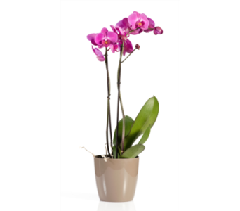 Phalaenopsis Orchid in St Catharines ON, Vine Floral