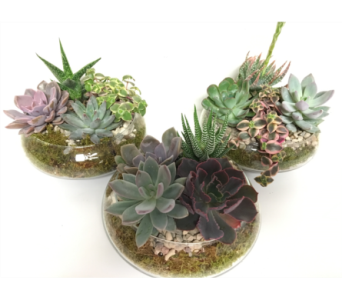 1 Assorted Succulent Garden in 7 inch Glass Lotus  in Wyoming MI, Wyoming Stuyvesant Floral