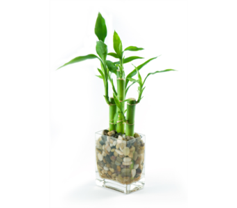 Lucky Bamboo in St Catharines ON, Vine Floral