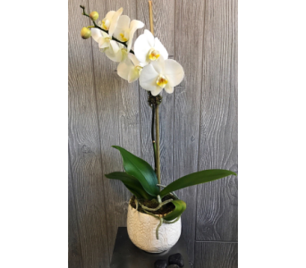Beautiful Orchid in Needham MA, Needham Florist