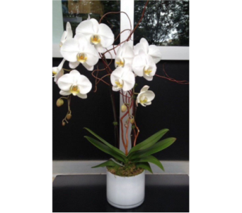 potted easter orchid  in Bellevue WA, CITY FLOWERS, INC.