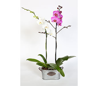 Double Orchid Plant in Southampton PA, Domenic Graziano Flowers