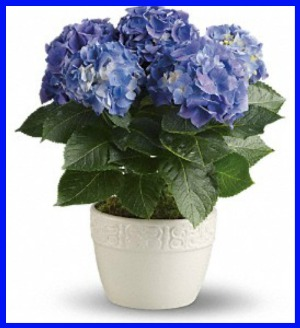 Happy Hydrangea - Blue in Hamilton ON, Joanna's Florist