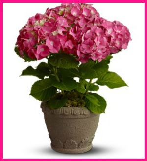 Heavenly Hydrangea in Hamilton ON, Joanna's Florist