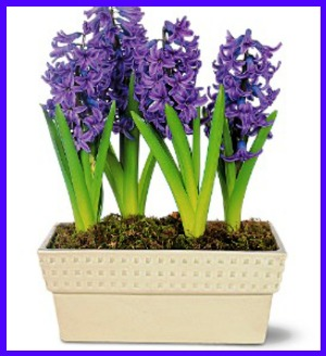 Hyacinth Planter in Hamilton ON, Joanna's Florist