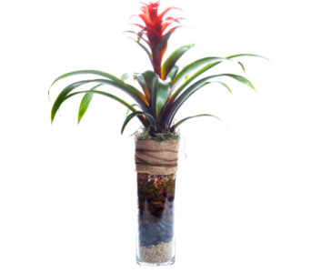 Medium Bromeliad Soilscape in Oshkosh WI, House of Flowers