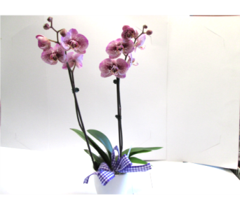 Phalaenopsis Orchid in Worcester MA, Holmes Shusas Florists, Inc