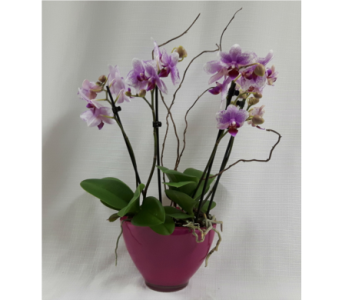 Orchid Plants in Belleville ON, Barber's Flowers Ltd