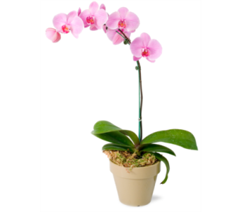 Orchid Plant in Oliver BC, Flower Fantasy & Gifts