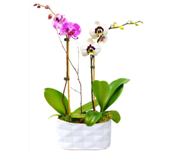 Phalaenopsis Orchids in Clearwater FL, Hassell Florist