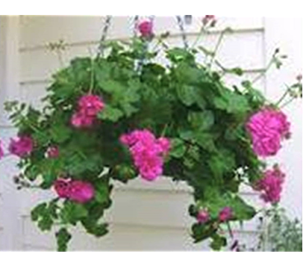 Hanging Basket in Corunna ON, KAY'S Petals & Plants