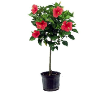 Hibiscus Tree in Glasgow KY, Greer's Florist