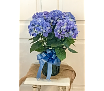 HAPPY HYDRANGEA in Westfield MA, Flowers by Webster