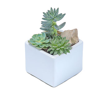 Mini Stunning Succulent in Sault Ste Marie MI, CO-ED Flowers & Gifts Inc.