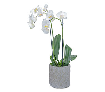 White Elegance Orchid in Oshkosh WI, Flowers & Leaves LLC