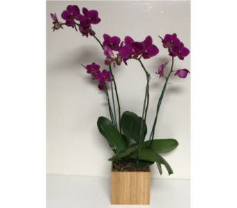 Two Double Orchid Plants - 6x6 Bamboo Cube in Wyoming MI, Wyoming Stuyvesant Floral