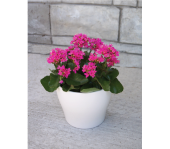 Potted kalanchoe in Muskegon MI, Wasserman's Flower Shop