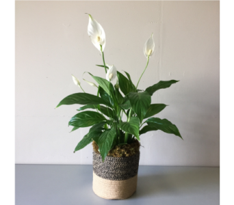 Peace Lily in Walla Walla WA, Holly's Flower Boutique