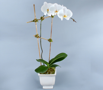 Single White Phalaenopsis in Bamboo in Darien CT, Nielsen's Florist And Garden Shop