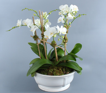 White Mini Orchids in Low White Container in Darien CT, Nielsen's Florist And Garden Shop