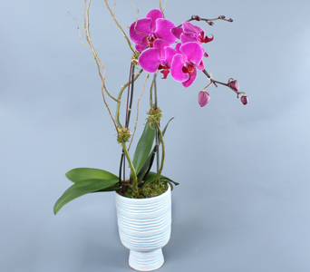 Large Pink Phalaenopsis in White Container in Darien CT, Nielsen's Florist And Garden Shop