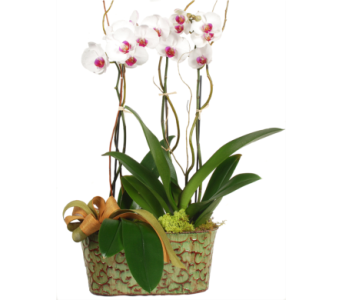 Two Phalaenopsis Orchid Plants in Large Planter in Madison WI, Felly's Flowers