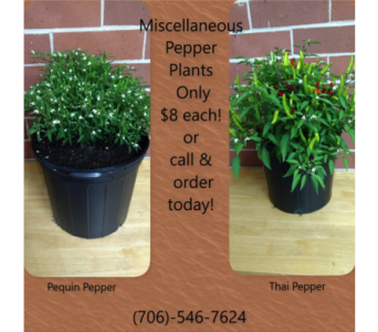 Miscellaneous Pepper Plant in Athens GA, Flowers, Inc.