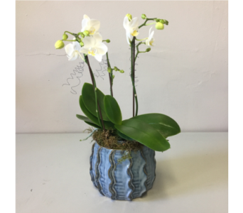 Modest White Orchid in Walla Walla WA, Holly's Flower Boutique