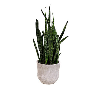 Sansevieria in Detroit and St. Clair Shores MI, Conner Park Florist