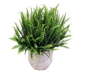 Boston Fern in Detroit and St. Clair Shores MI, Conner Park Florist