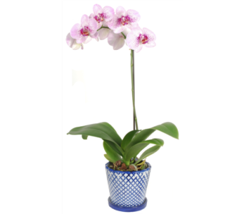 Phalaenopsis Orchid Plant in A Blue and White Pot in Madison WI, Felly's Flowers