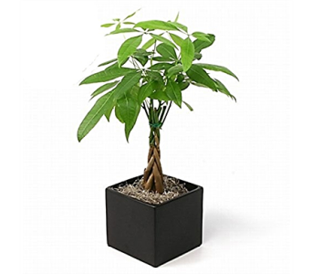 Money Tree in Wooden Box in Columbus OH, OSUFLOWERS .COM