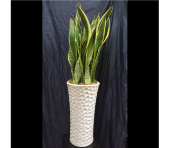 Snake Plant in San Diego CA, The Floral Gallery