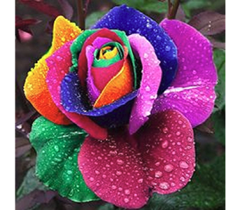 Pride - One Dozen Rainbow Roses in South Hadley MA, Carey's Flowers, Inc.