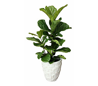 Fiddle Leaf Fig, Large in Detroit and St. Clair Shores MI, Conner Park Florist