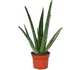 Aloe Vera Plant in Timmins ON, Timmins Flower Shop Inc.